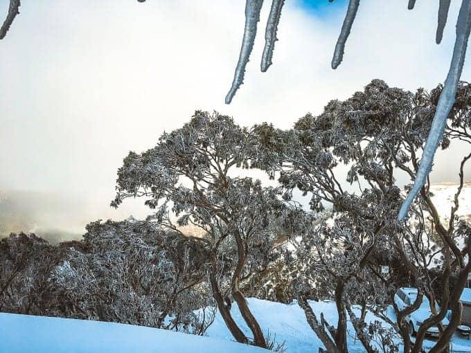 skiing through gum trees in the Australian snowy mountains