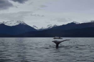 Image of Humpback Whale Tail in Juneau, Alaska