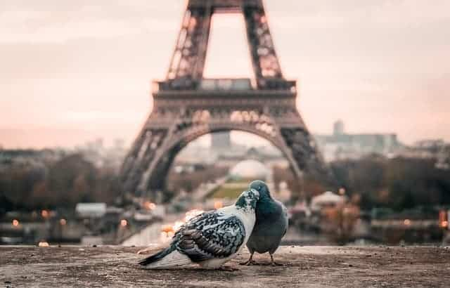 Pigeons Eiffel Tower