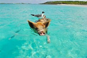 Yacht Jobs allow you to feed the pigs in the Bahamas