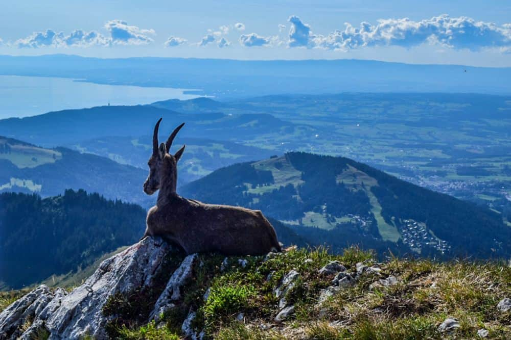 Mountain goat looking over Lake Geneva