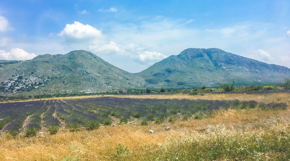 Lavender fields in Albania